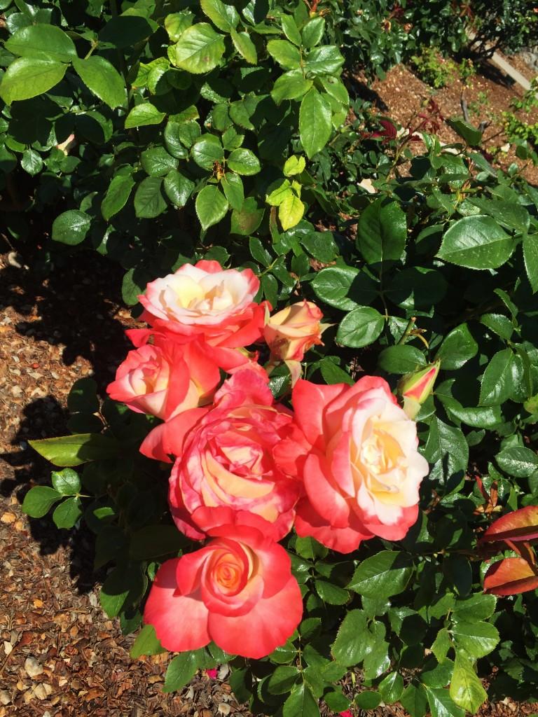 bush rose