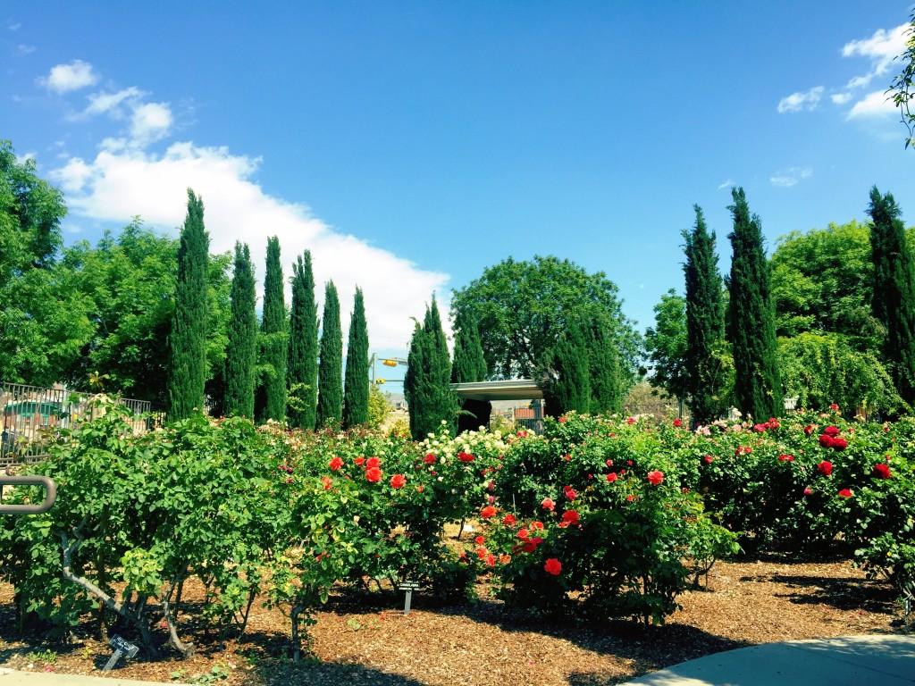 Rose Garden El Paso