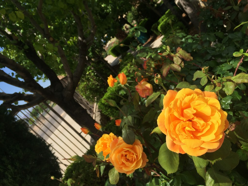 Orange Rose El Paso
