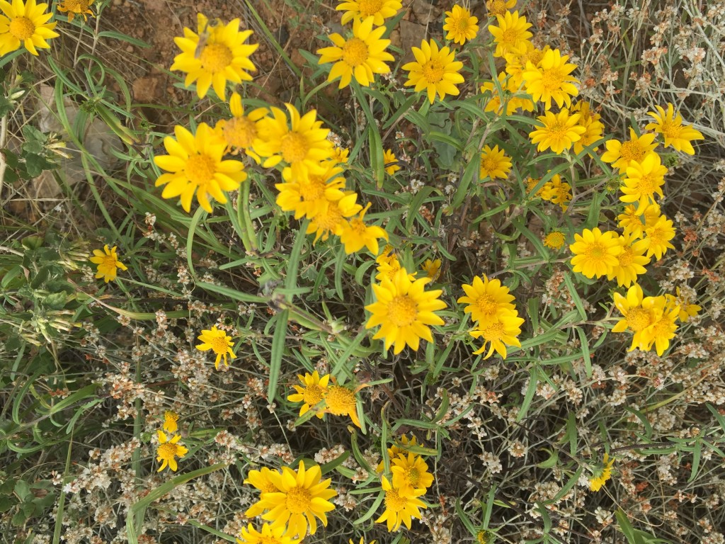 Yellow Desert Flower